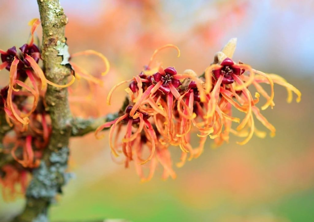 12 Best Winter Interest Plants for the Midwest (and Northeast) witch hazel