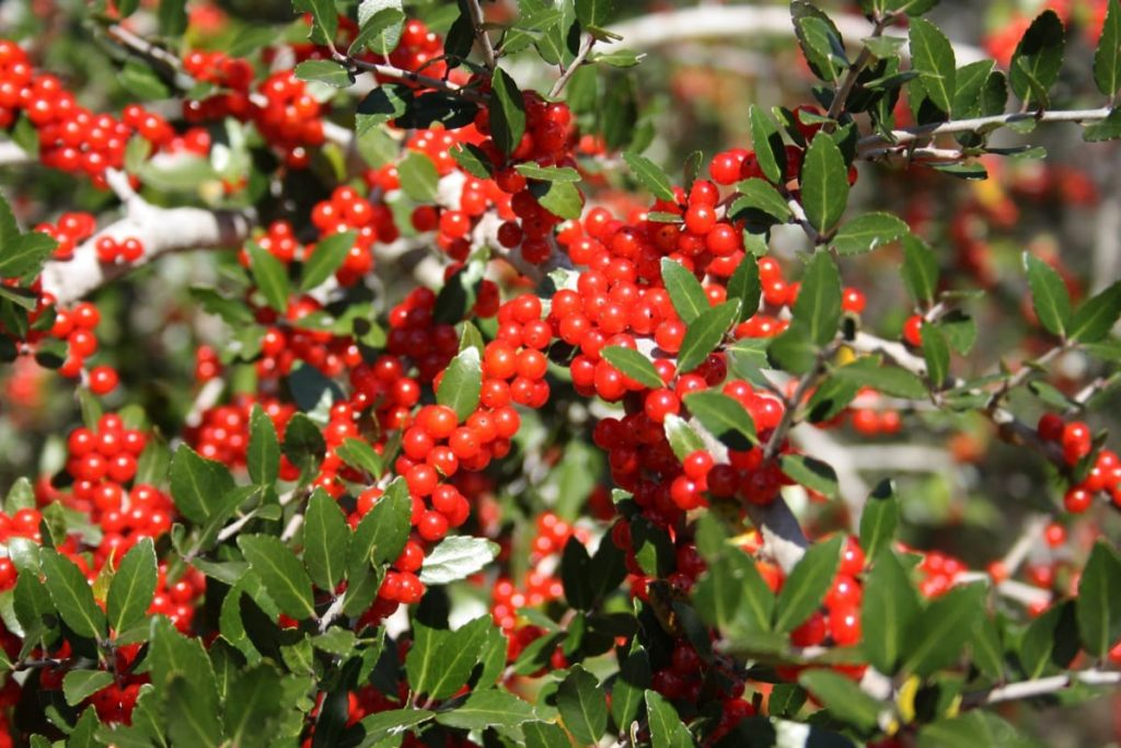 12 Best Winter Interest Plants for the Midwest (and Northeast) red holly