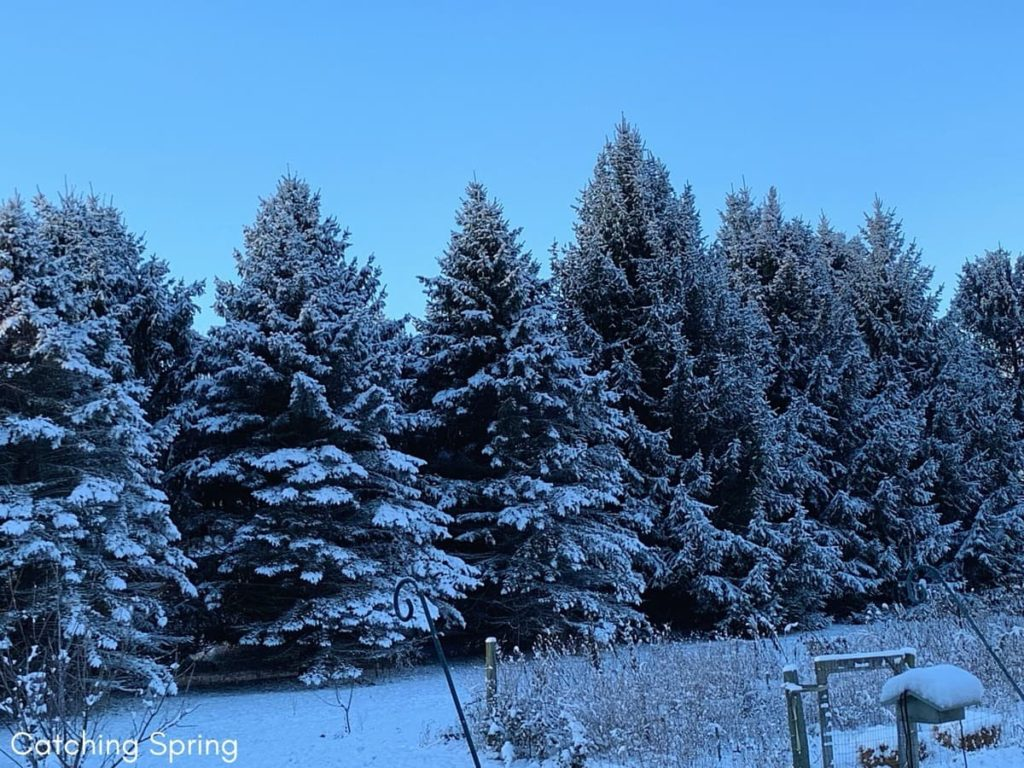 12 Best Winter Interest Plants for the Midwest (and Northeast) pine trees