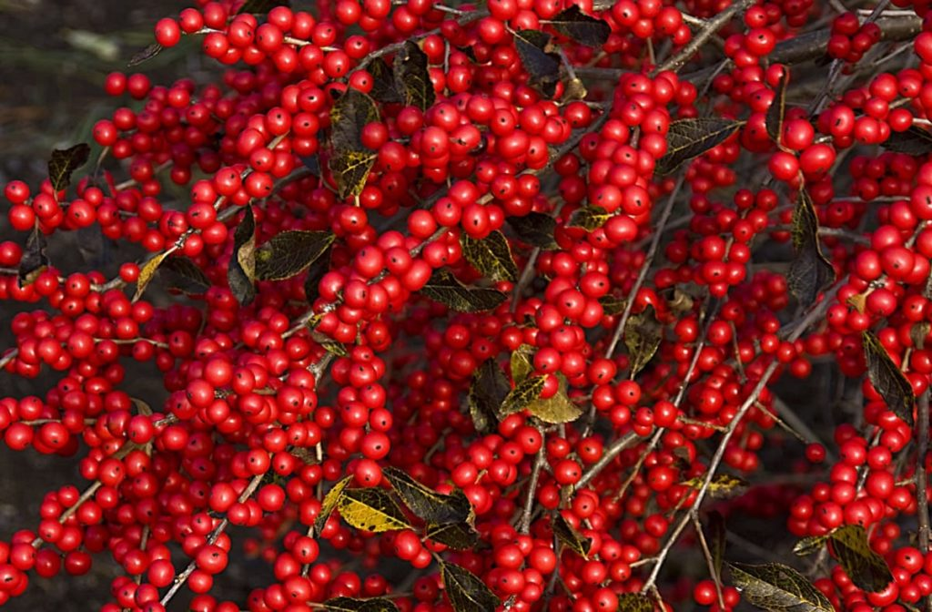 12 Best Winter Interest Plants for the Midwest (and Northeast) winterberry