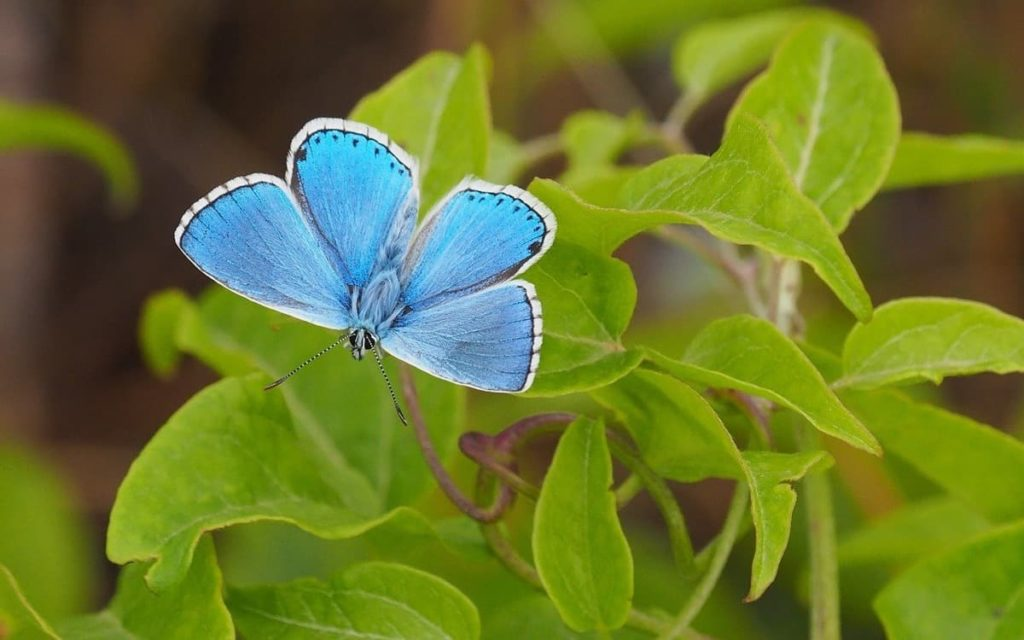 tips for attracting the first springtime butterflies spring azure