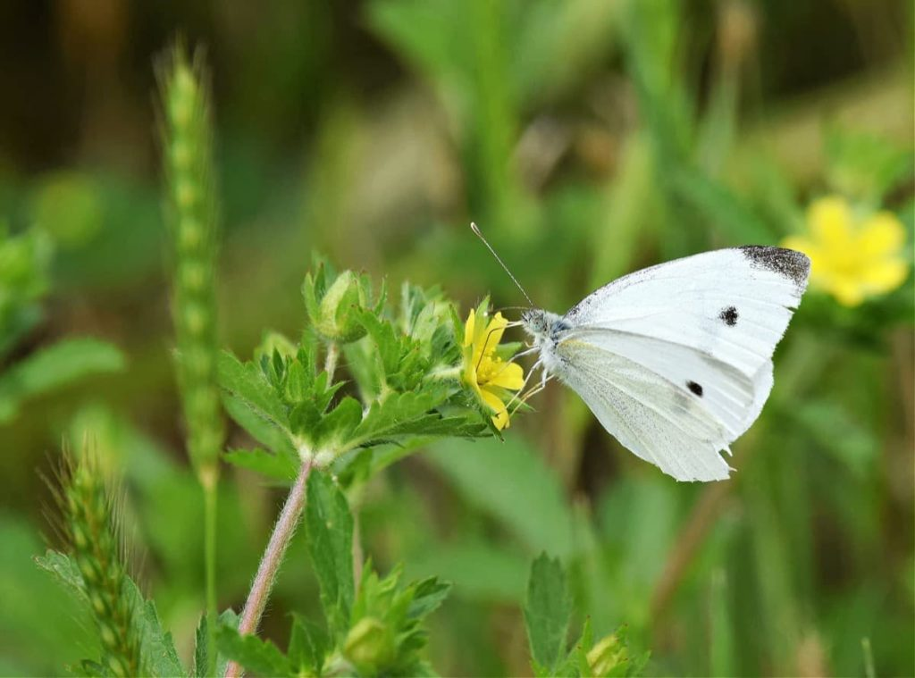 tips for attracting the first springtime butterflies cabbage white