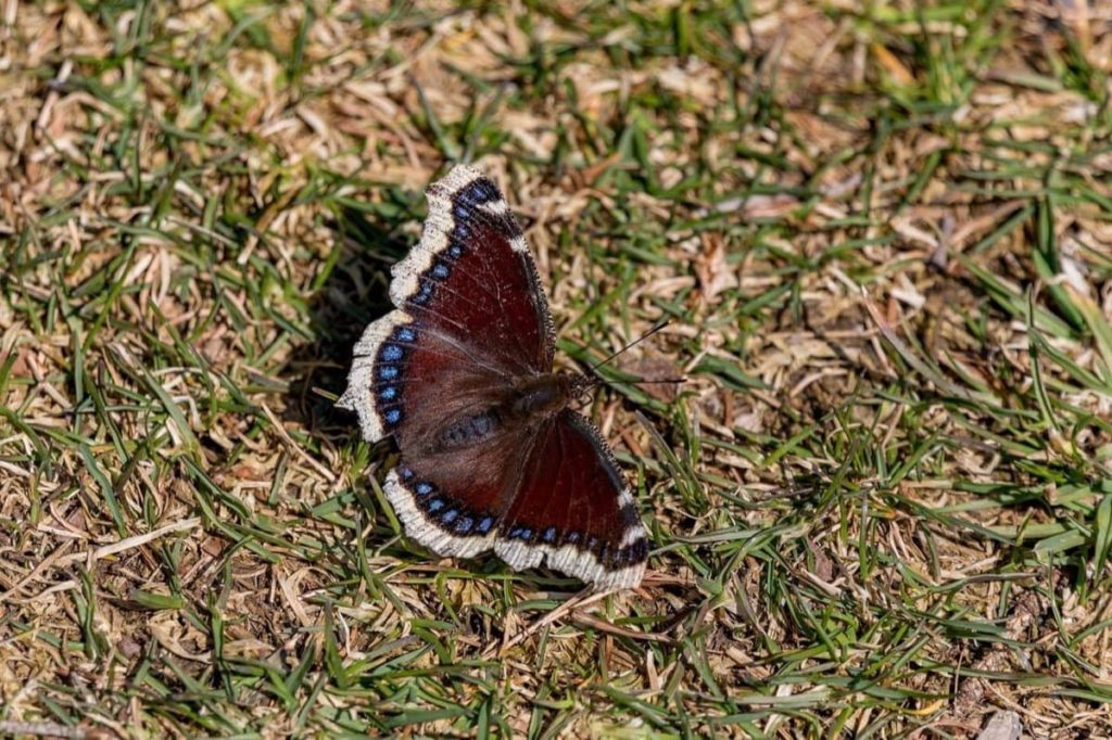 tips for attracting the first springtime butterflies mourning cloak