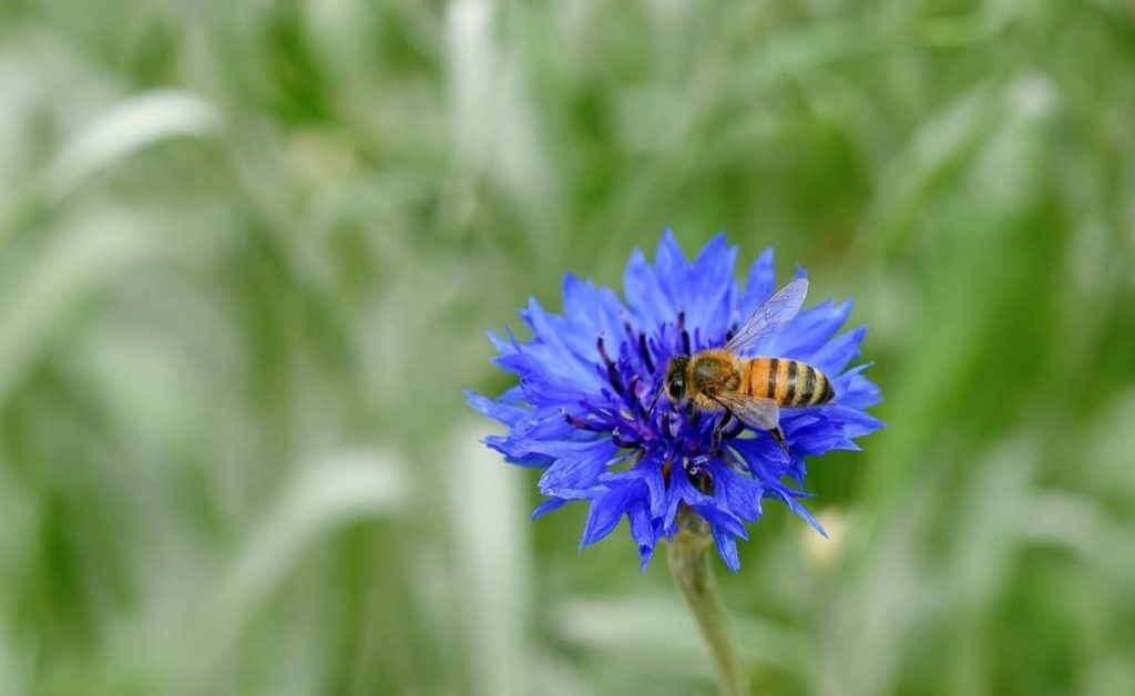 Top pollinator annuals you need to grow - Cornflower