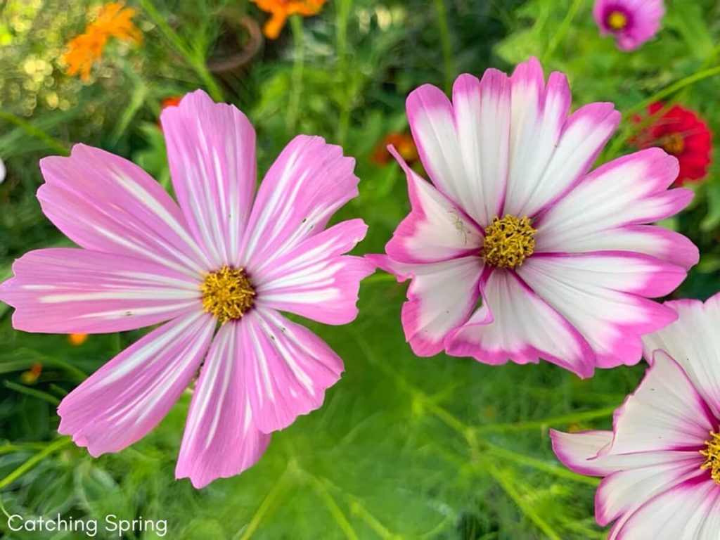 Top pollinator annuals you need to grow - cosmos