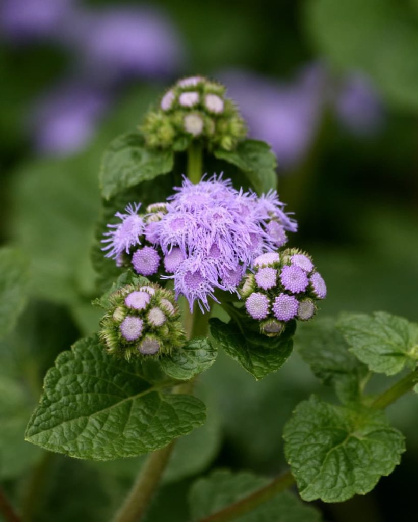 Top pollinator annuals you need to grow - floss flower