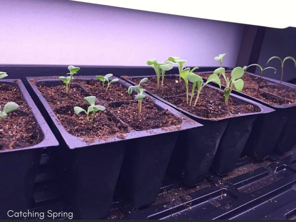 Common Seed Starting Mistakes to Avoid - not enough light