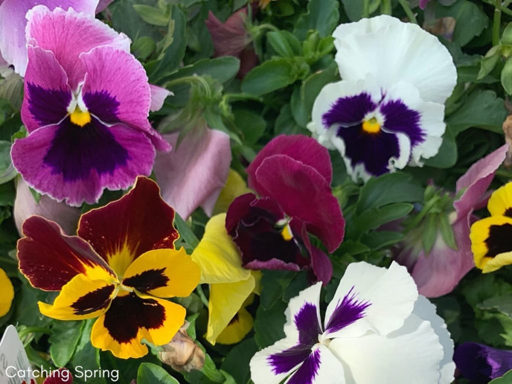Top pollinator annuals you need to grow - pansies