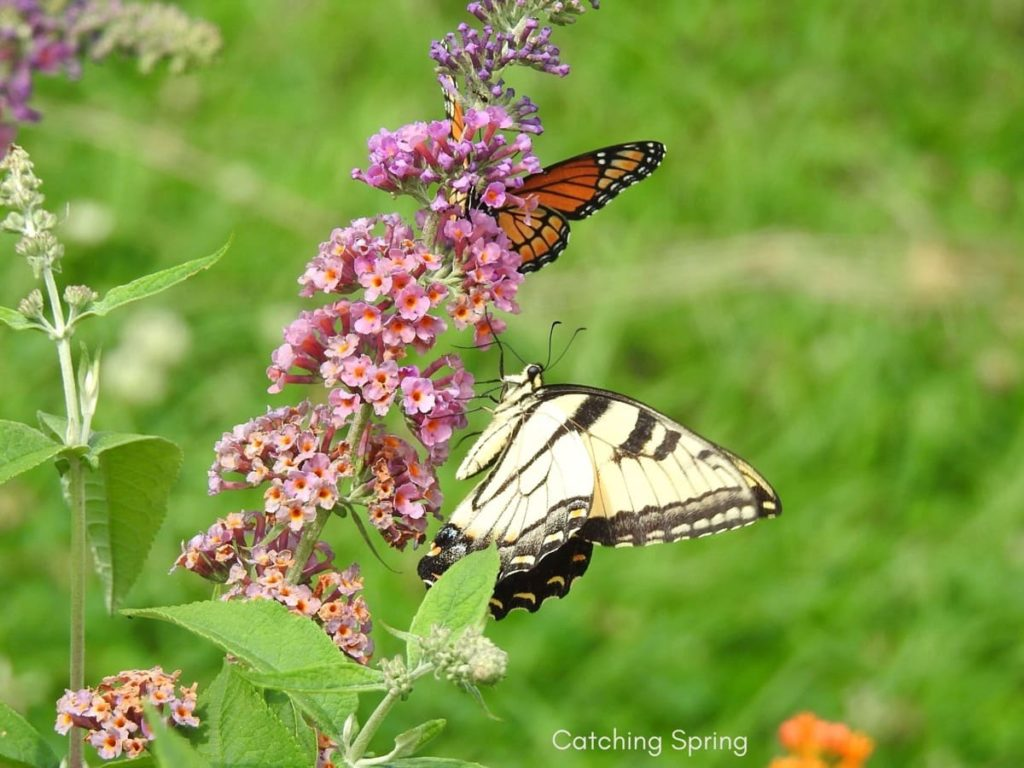 tips to attract first springtime butterflies no use of pesticides ever