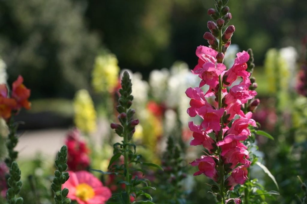 Top pollinator annuals you need to grow - snapdragons