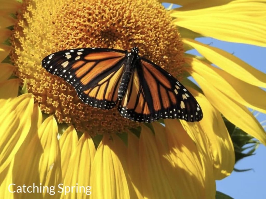 Top pollinator annuals you need to grow - sunflowers