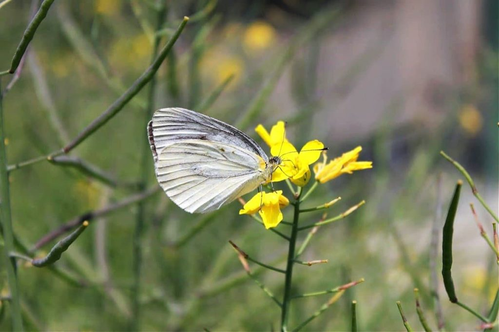 tips for attracting the first springtime butterflies don't destroy wildflowers