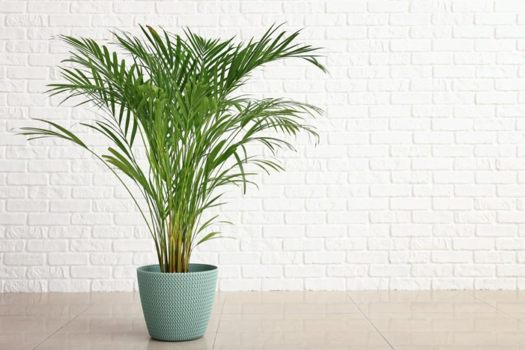 15 Attractive Pet-Friendly House Plants You Can Safely Grow areca palm