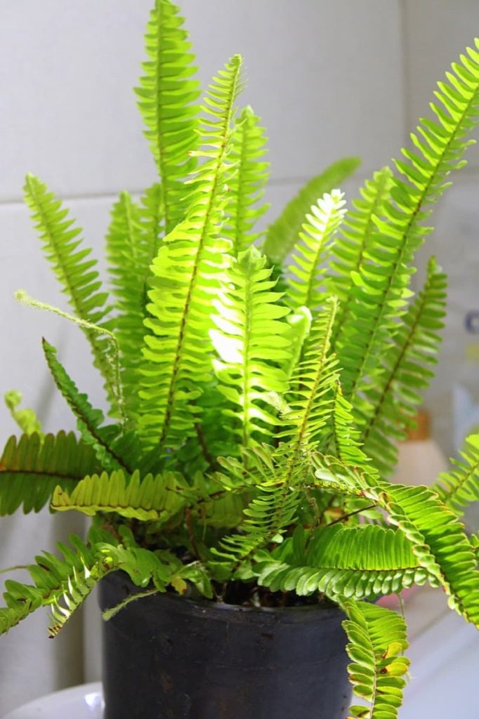 15 Attractive Pet-Friendly House Plants You Can Safely Grow Boston fern