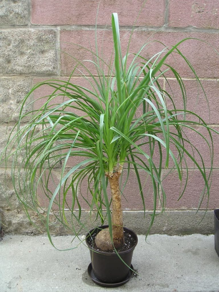 15 Attractive Pet-Friendly House Plants You Can Safely Grow Ponytail palm