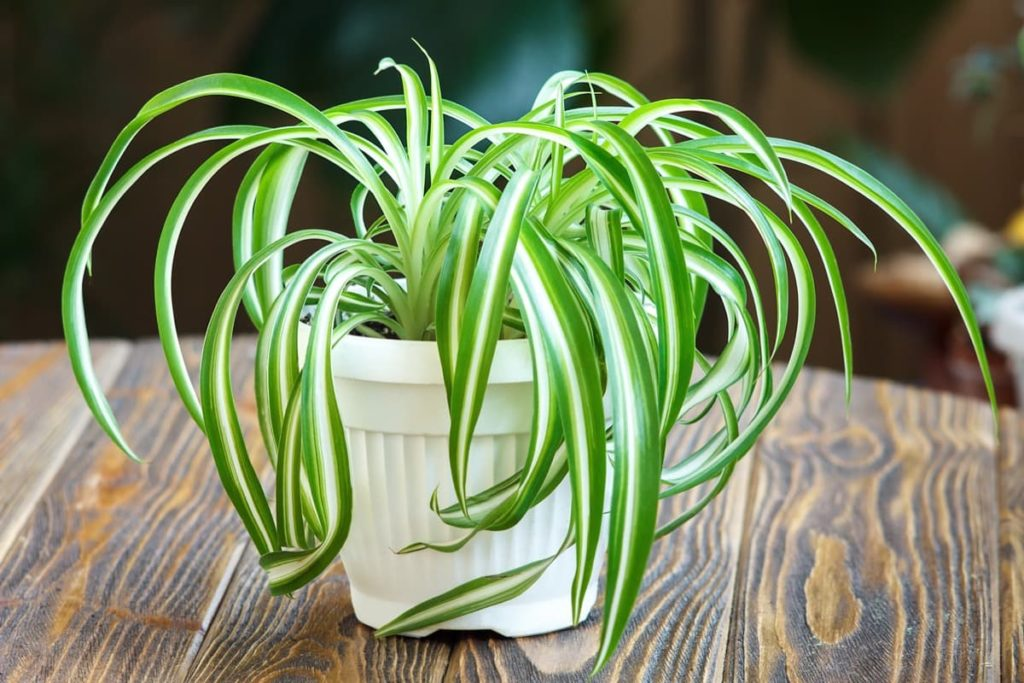 15 Attractive Pet-Friendly House Plants You Can Safely Grow spider plant