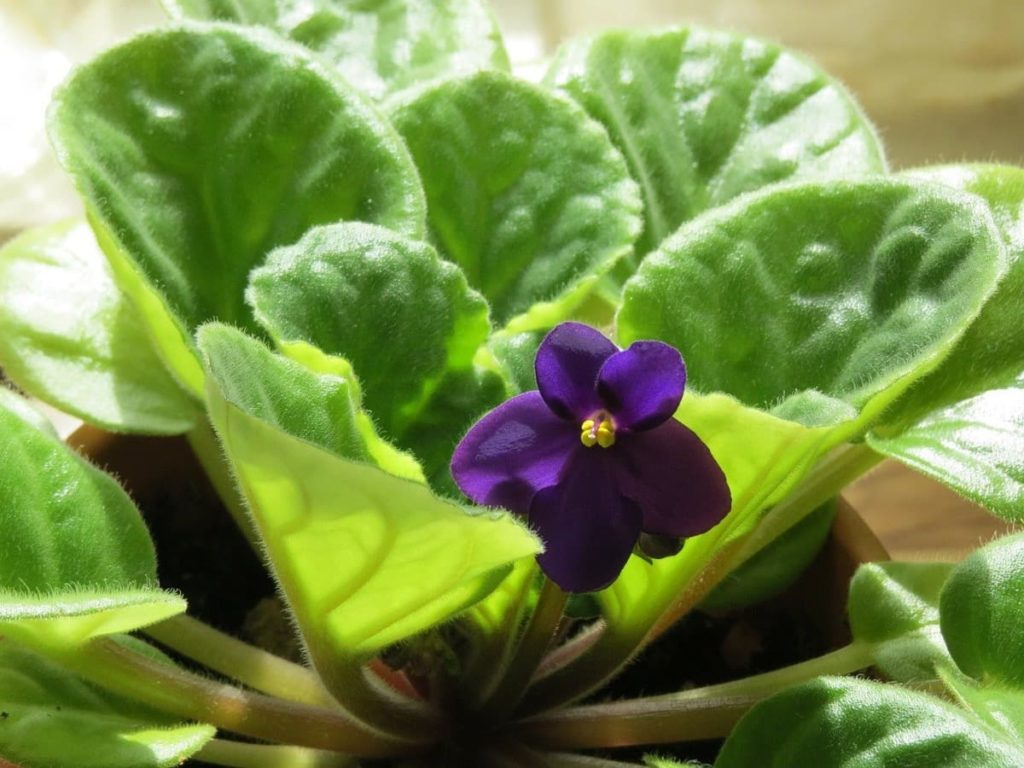 15 Attractive Pet-Friendly House Plants You Can Safely Grow African violet