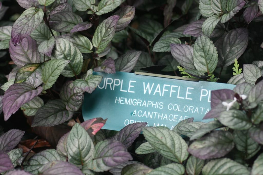 15 Attractive Pet-Friendly House Plants You Can Safely Grow purple waffle plant