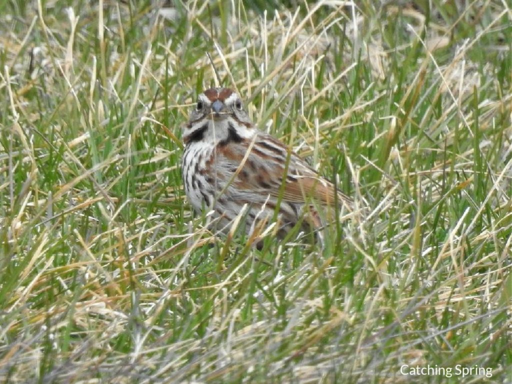 Preserving Beautiful Grassland Birds - 10 Key Steps - try rotational mowing