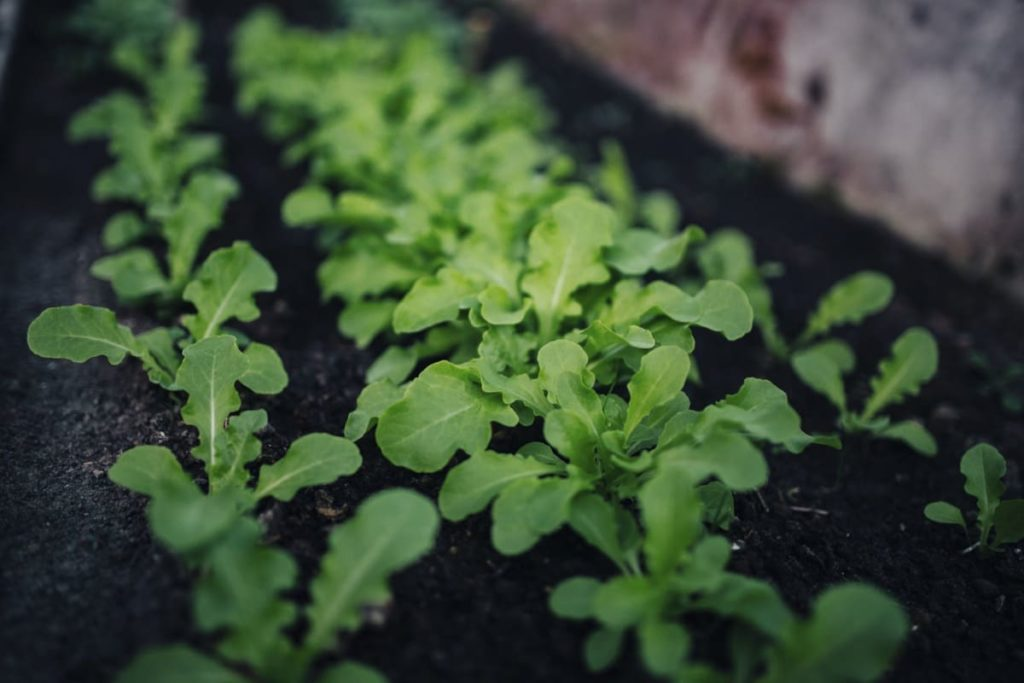 Common Garden Mistakes to Avoid in Spring seedlings planted too close
