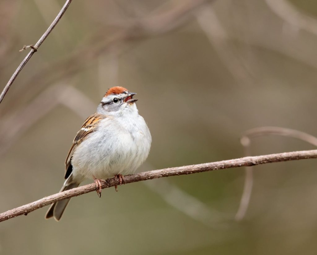 Get to know these 15 beautiful native sparrows chipping sparrow