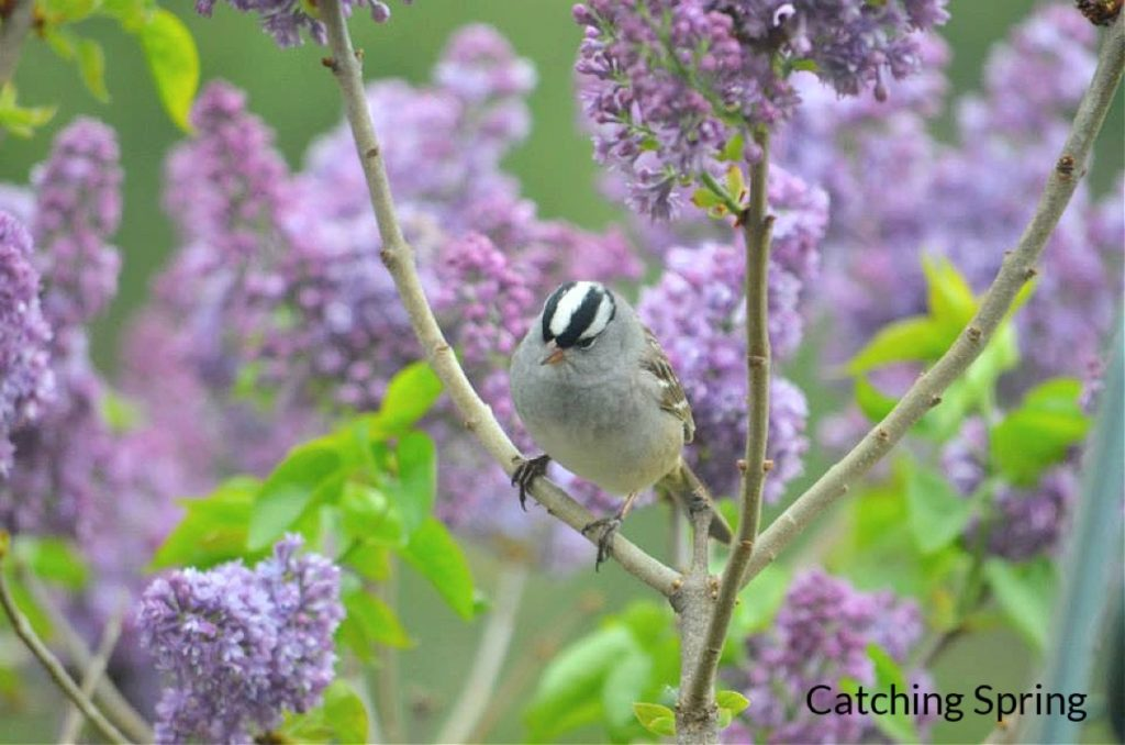 Get to know these 15 beautiful native sparrows white crowned sparrow
