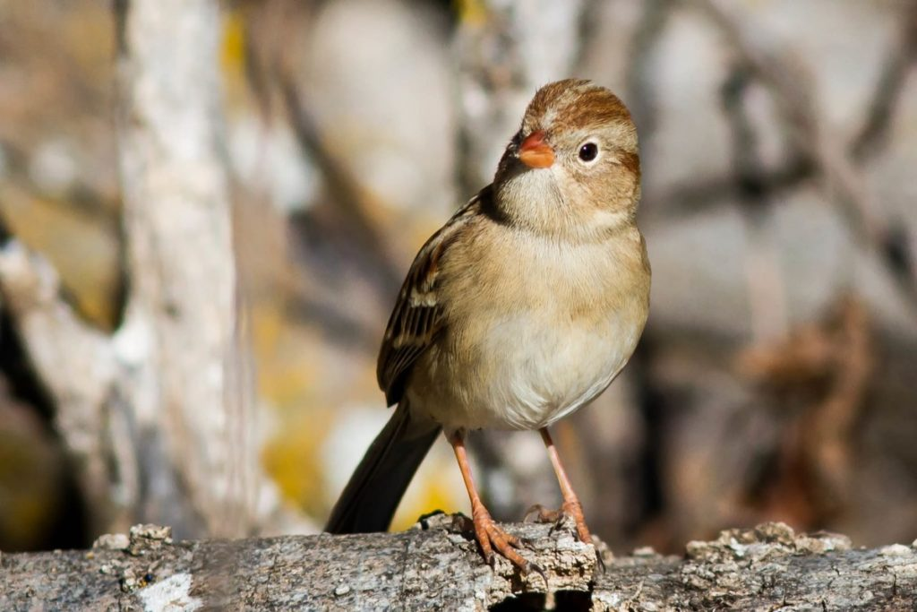 Get to know these 15 beautiful native sparrows field sparrow