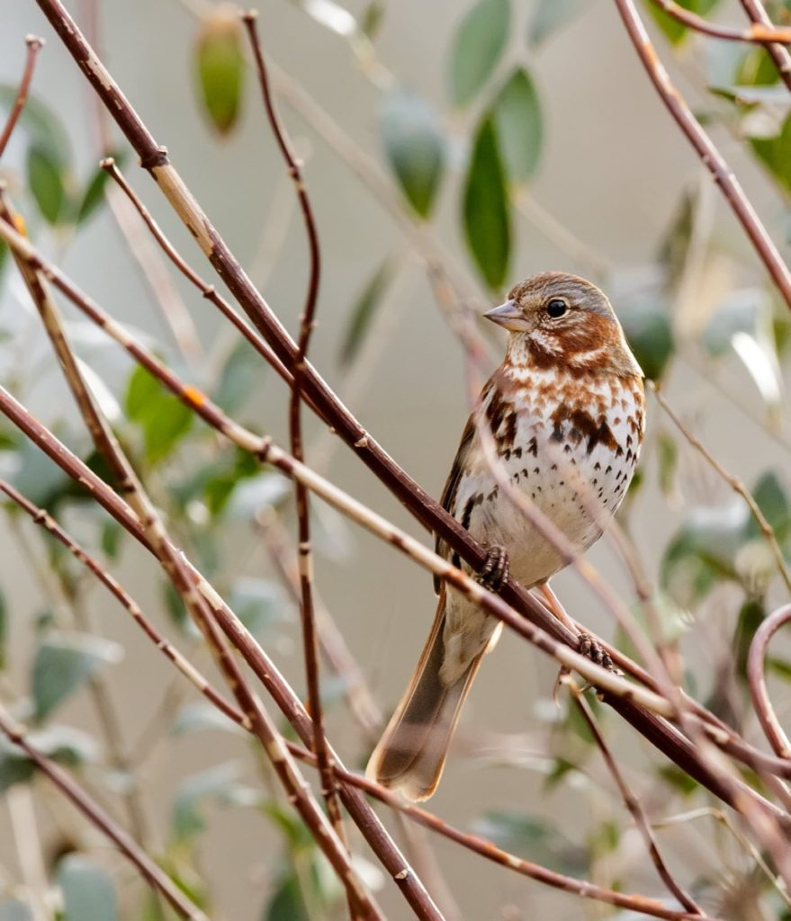 Get to know these 15 beautiful native sparrows