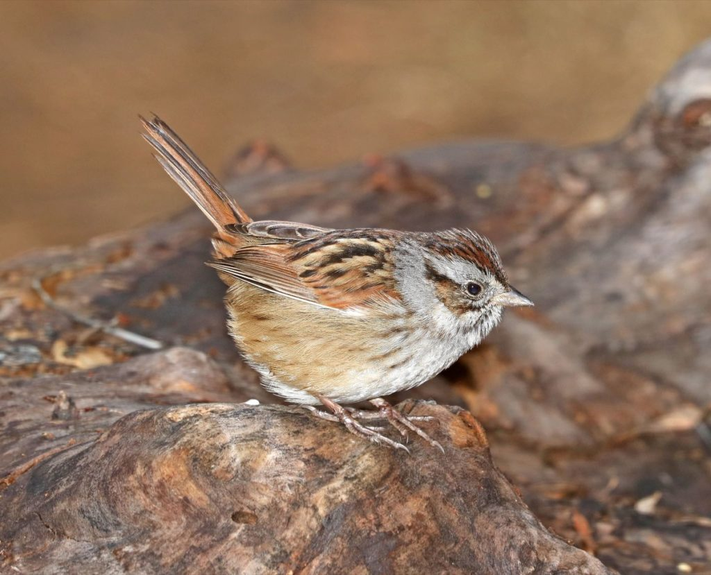 Get to know these 15 beautiful native sparrows swamp sparrow