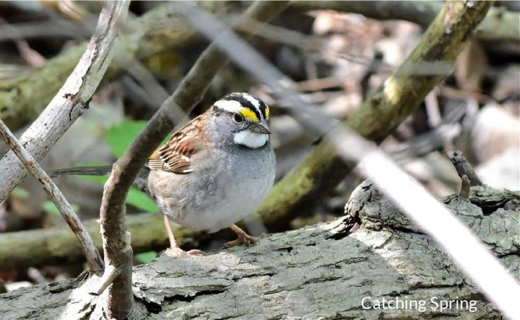 Get to know these 15 beautiful native sparrows white throated sparrow