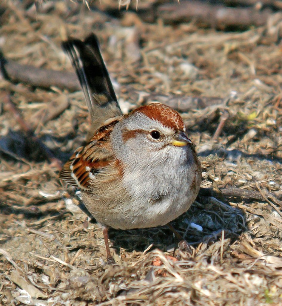 Get to know these 15 beautiful native sparrows American tree sparrow