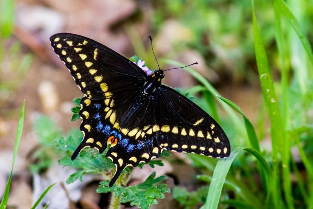 Swallowtail Host Plants - What to Feed 6 Popular Swallowtail Butterflies - Black Swallowtail