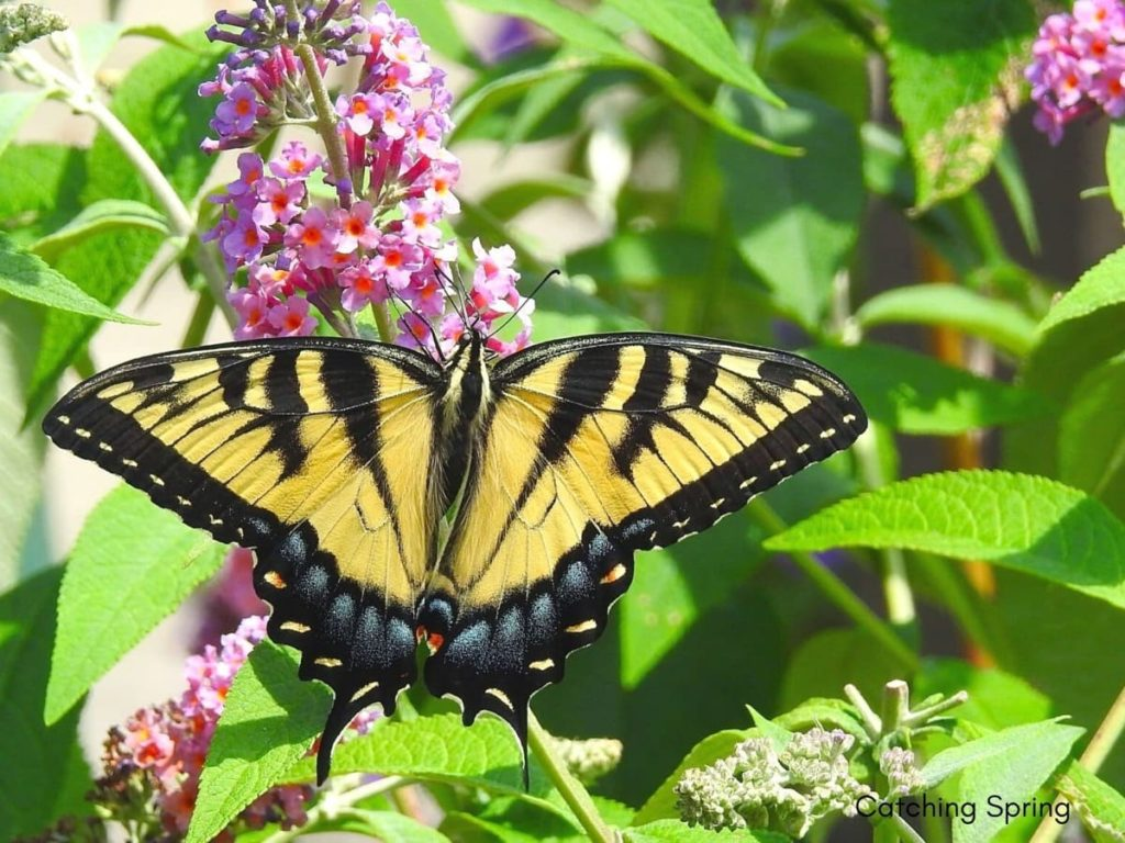 Swallowtail Host Plants - What to Feed 6 Popular Swallowtail Butterflies - Tiger Swallowtail