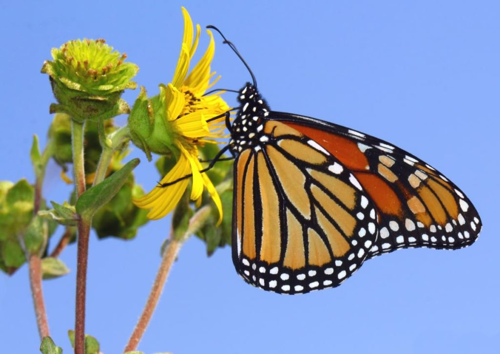 (Over) 60 Host Plants for Attracting Beautiful Butterflies to Your Yard! - monarchs