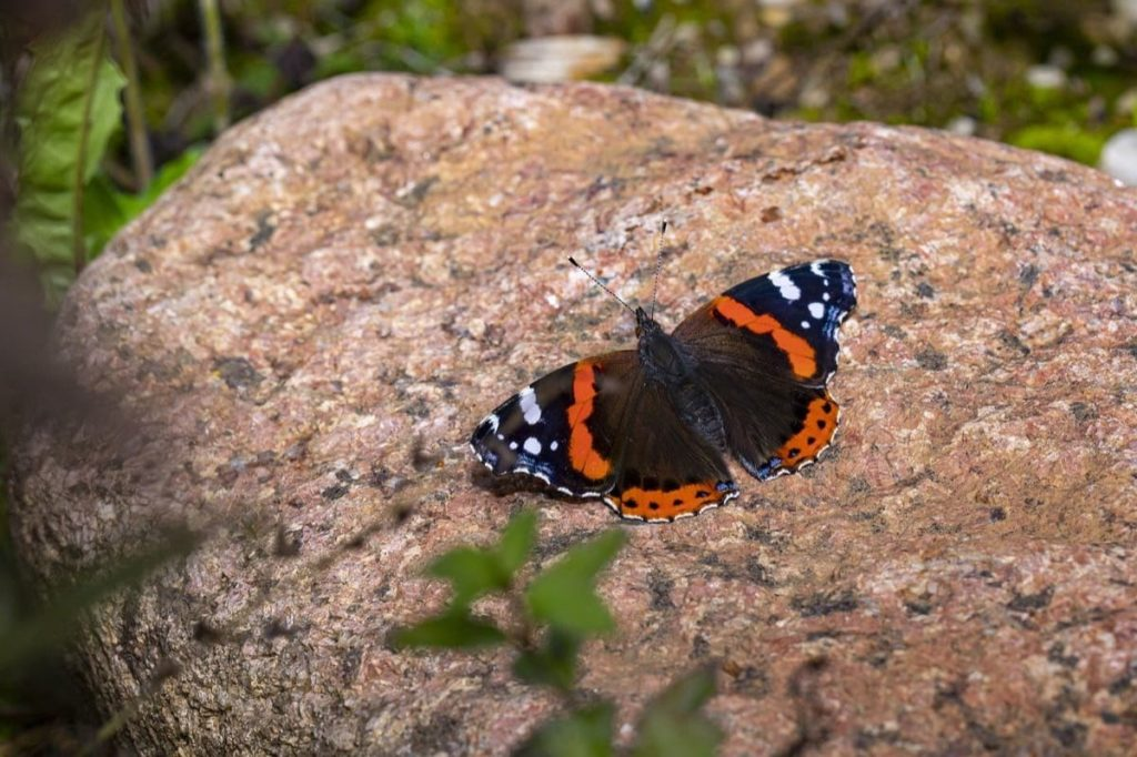 (Over) 60 Host Plants for Attracting Beautiful Butterflies to Your Yard! - Red Admiral