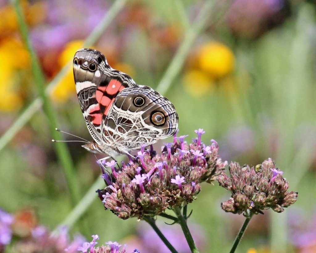 (Over) 60 Host Plants for Attracting Beautiful Butterflies to Your Yard! - American Lady