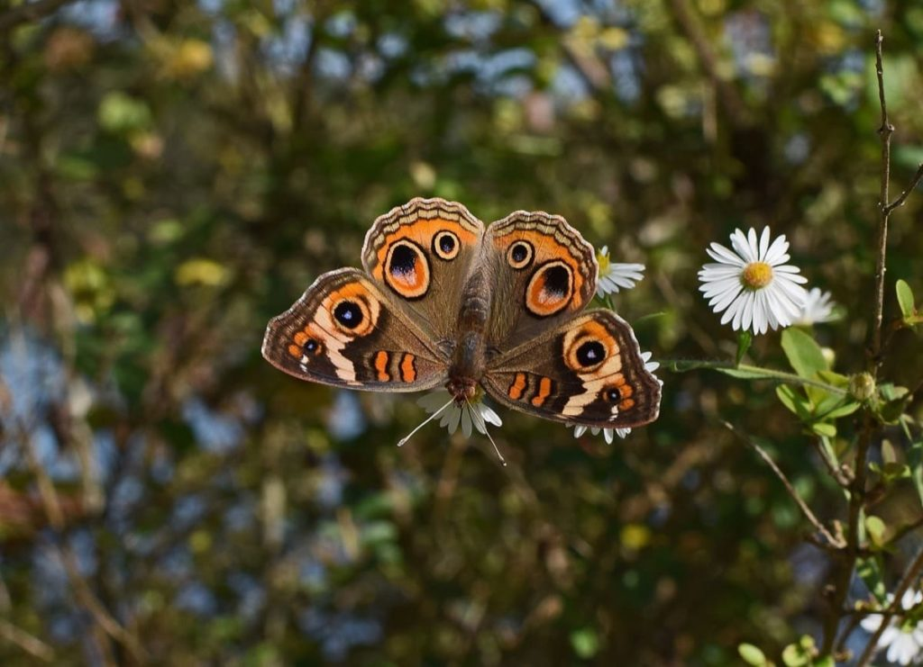 (Over) 60 Host Plants for Attracting Beautiful Butterflies to Your Yard! - Common Buckeye