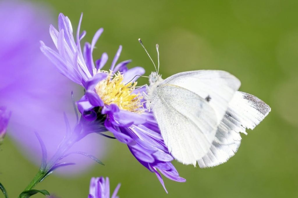 (Over) 60 Host Plants for Attracting Beautiful Butterflies to Your Yard! - Cabbage White