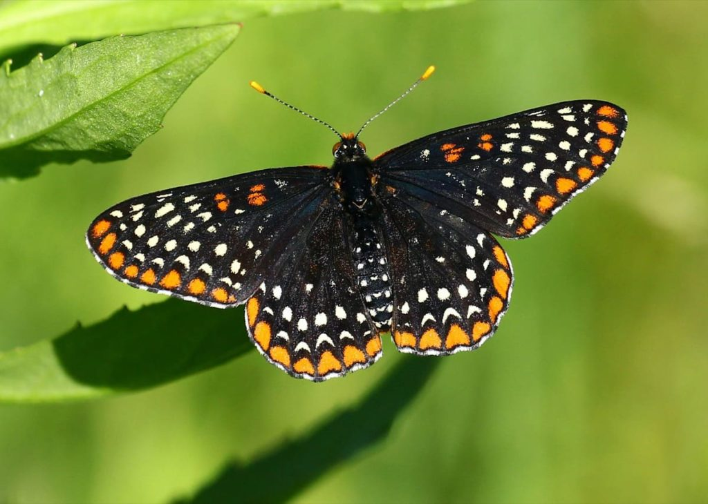 (Over) 60 Host Plants for Attracting Beautiful Butterflies to Your Yard! -Baltimore checkerspot butterfly