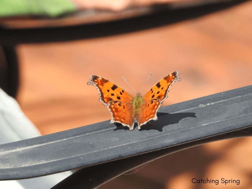 (Over) 60 Host Plants for Attracting Beautiful Butterflies to Your Yard! - Eastern Comma