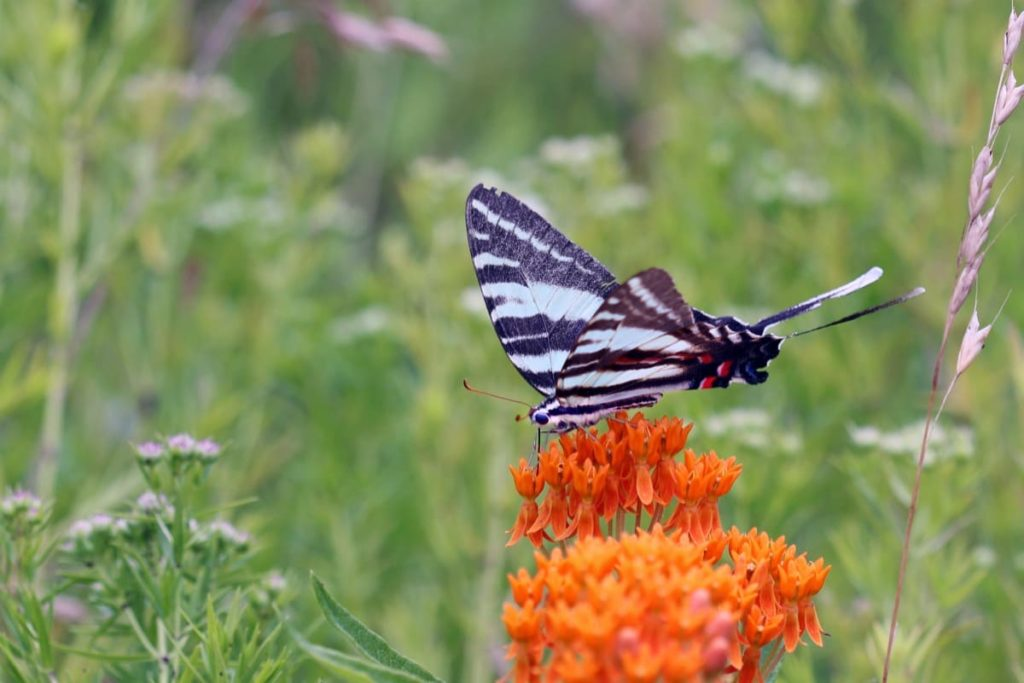 Swallowtail Host Plants - What to Feed 6 Popular Swallowtail Butterflies - food for butterflies