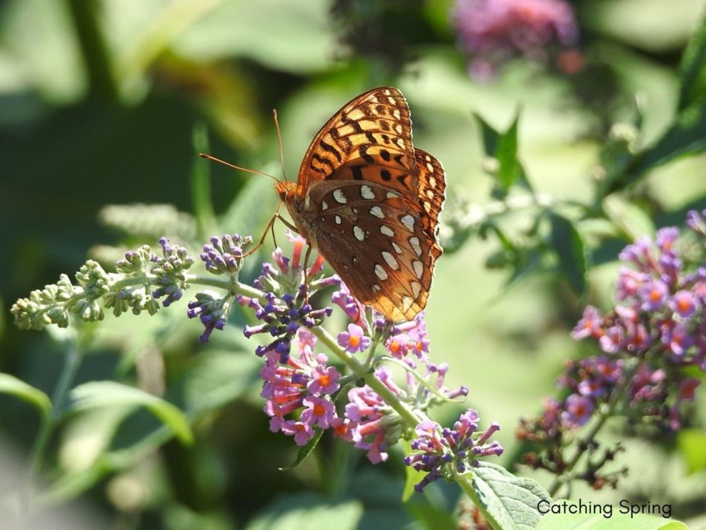 (Over) 60 Host Plants for Attracting Beautiful Butterflies to Your Yard! - Great-spangled Fritillary