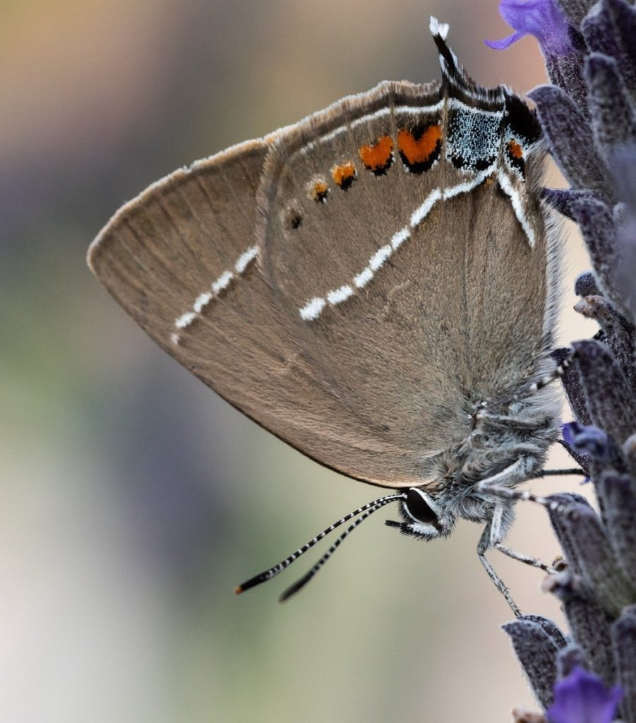 (Over) 60 Host Plants for Attracting Beautiful Butterflies to Your Yard! - Hairstreaks