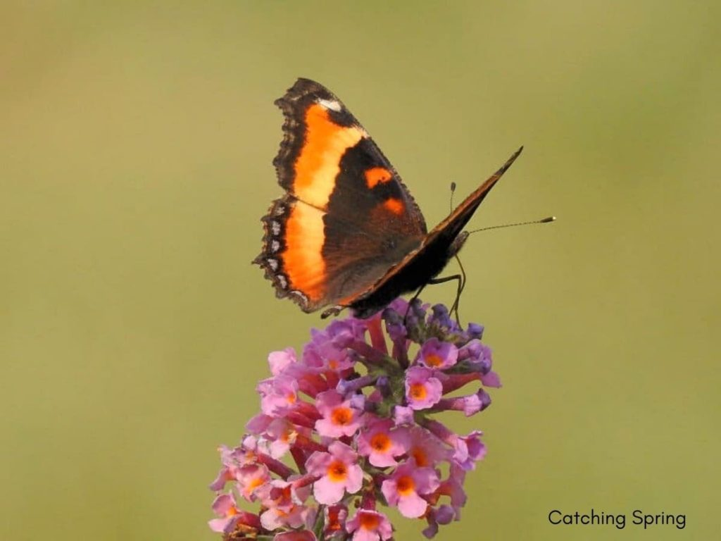 (Over) 60 Host Plants for Attracting Beautiful Butterflies to Your Yard! - Milbert's Tortoiseshell