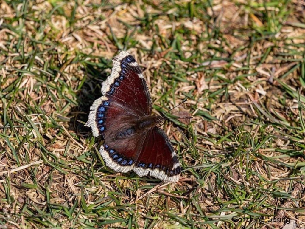 (Over) 60 Host Plants for Attracting Beautiful Butterflies to Your Yard! - Mourning Cloak