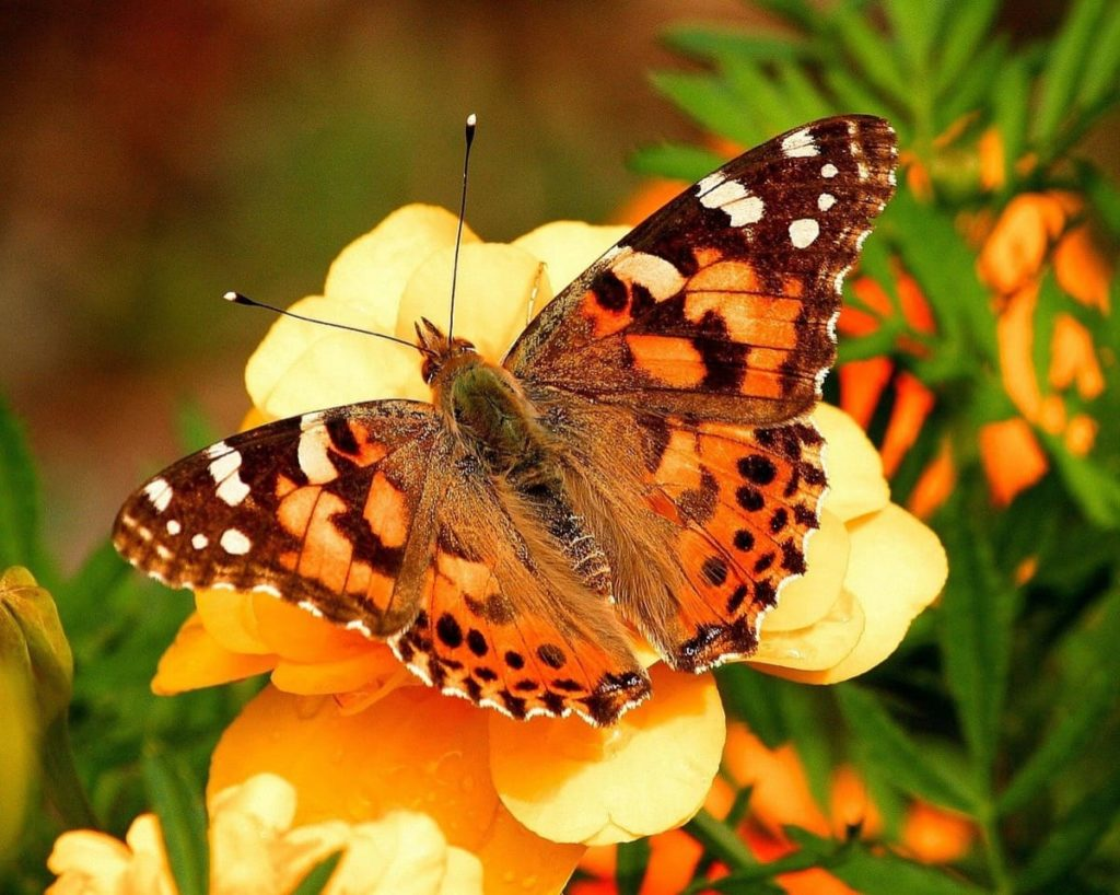 (Over) 60 Host Plants for Attracting Beautiful Butterflies to Your Yard! - Painted Lady