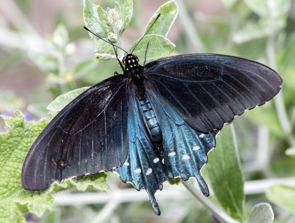 Swallowtail Host Plants - What to Feed 6 Popular Swallowtail Butterflies - Pipevine swallowtail