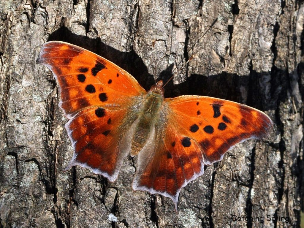 (Over) 60 Host Plants for Attracting Beautiful Butterflies to Your Yard! - question mark