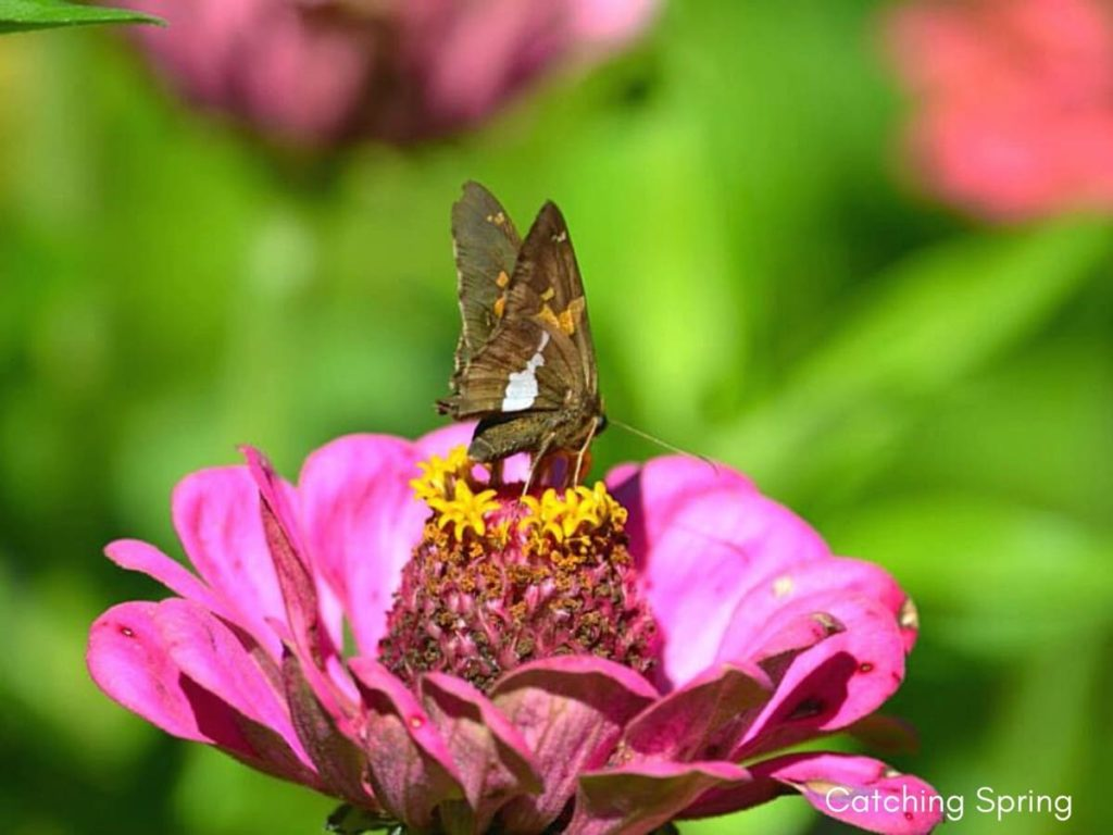 (Over) 60 Host Plants for Attracting Beautiful Butterflies to Your Yard! - Silver-spotted Skipper
