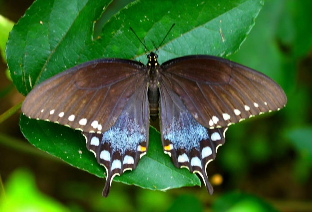 Swallowtail Host Plants - What to Feed 6 Popular Swallowtail Butterflies - Spicebush Swallowtail